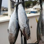 The skipjack tuna, Katsuwonus pelamis, is a medium-sized percifo